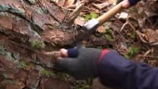 gathering pine resin