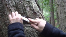 Collect Pine Resin For Insect Repellent, Torches & Adhesives