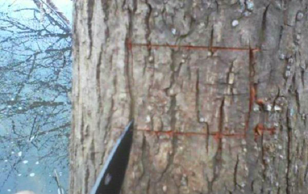 cutting a square out of a willow tree
