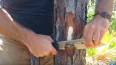 cutting into a pine tree