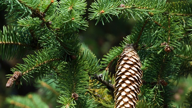 pine cone on a pine tree