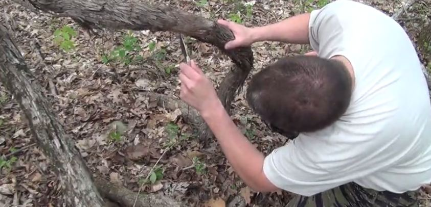 cutting into the grape vine