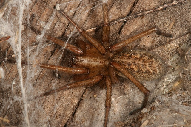hobo spider in woods