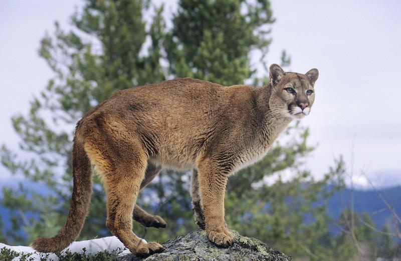 mountain lion on rock