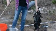 butchering chickens
