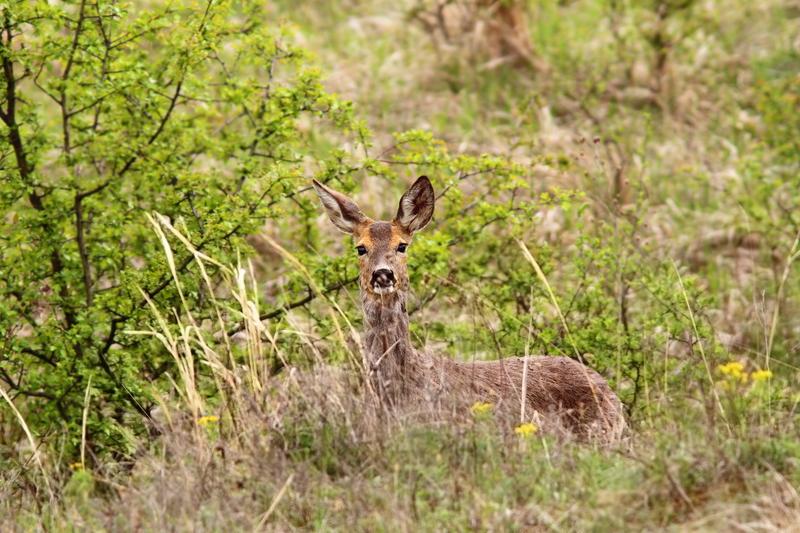 deer in the bushes
