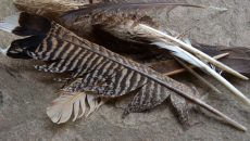 turkey-feathers