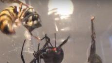 wasp vs black widow
