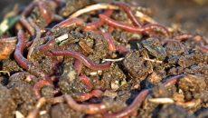 garden worms