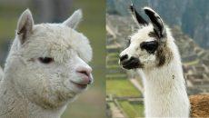 Llama_Alp