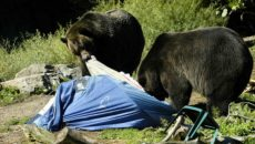 bears tear a part campsite