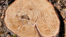 tree stump with rings
