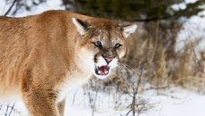 mad mountain lion