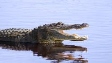 alligator in the wild